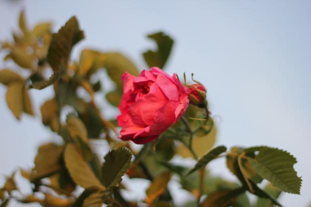 ruža za slatko